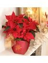 Christmas-Poinsettia-1